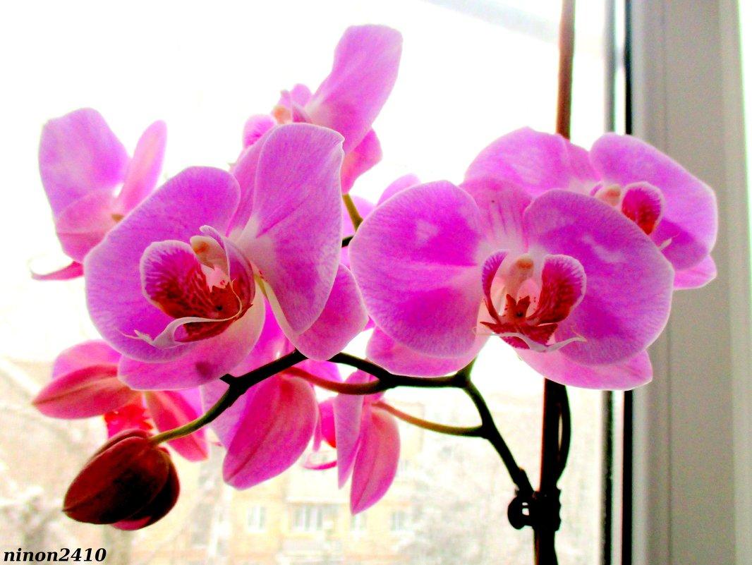 Орхидея на моём окне - Нина Бутко