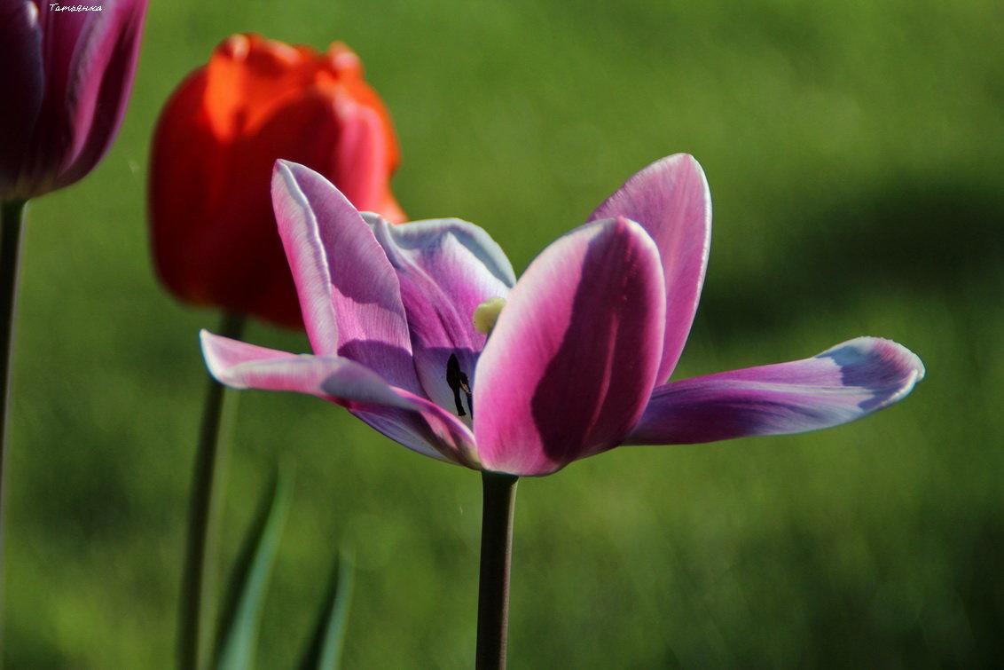 Тюльпаны в подарок - Татьянка *