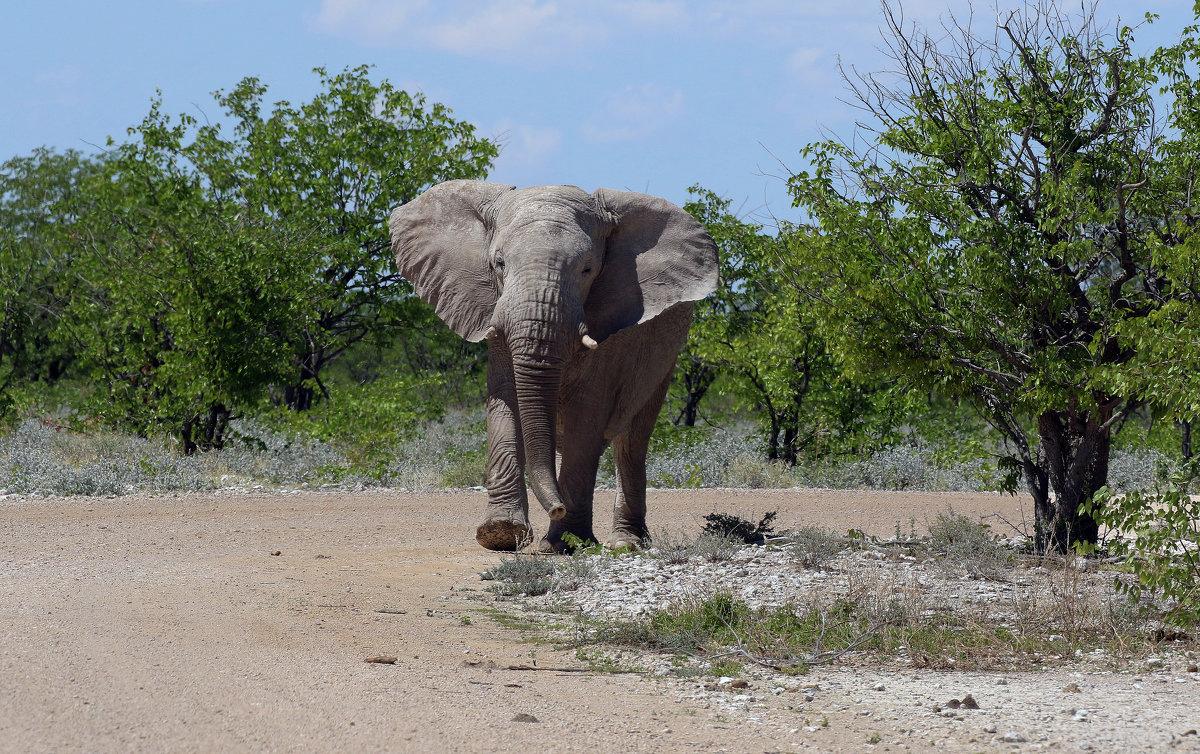 Слон. - Jakob Gardok