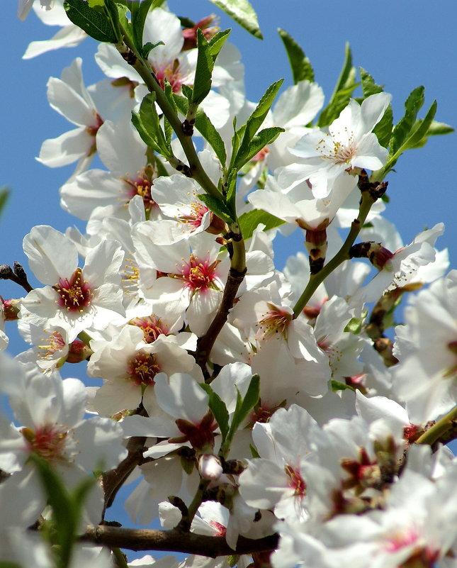 Цветет миндаль - Mir-Tash