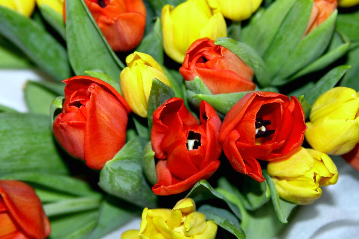 Тюльпаны - Алла ZALLA