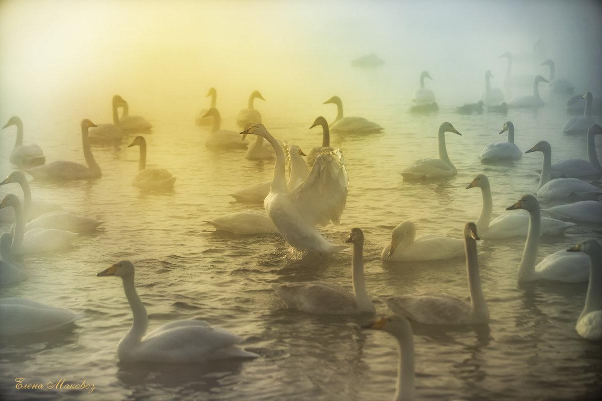 Лебединое озеро - Елена Маковоз