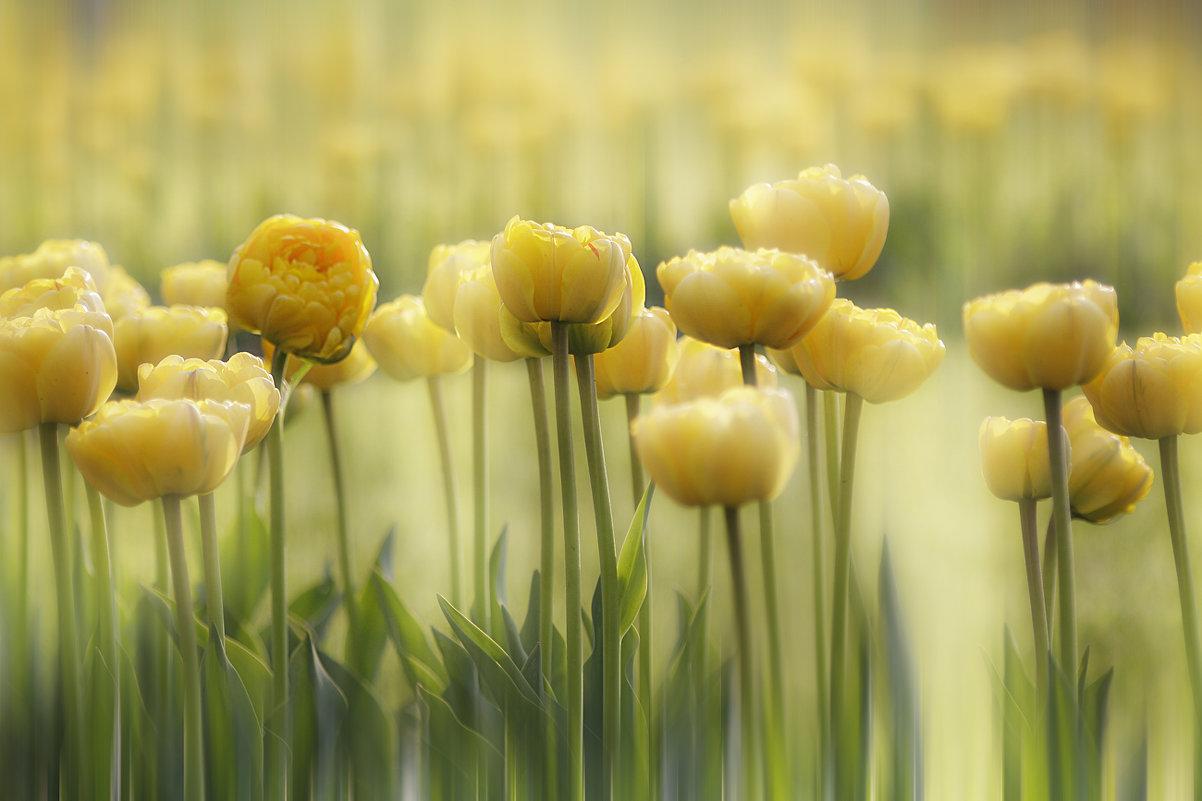 Тюльпаны - Lusi Almaz