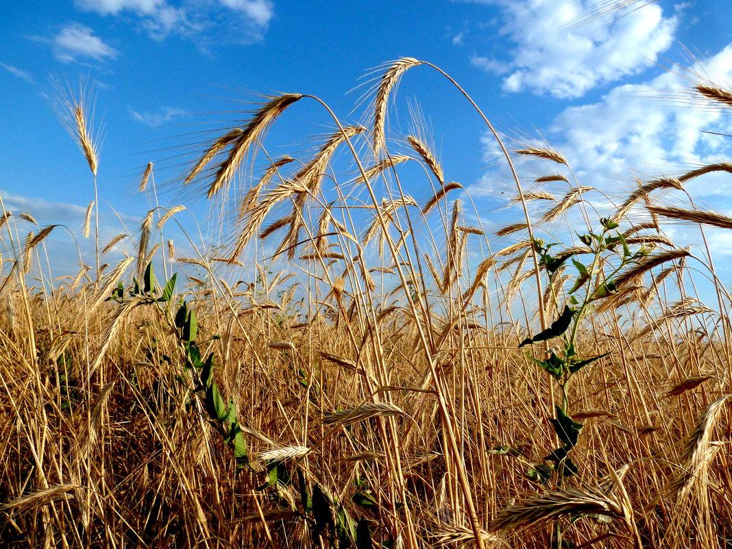 О, поле, как ты широко!  Не счесть числа твоей пшеницы... - Лидия Бараблина