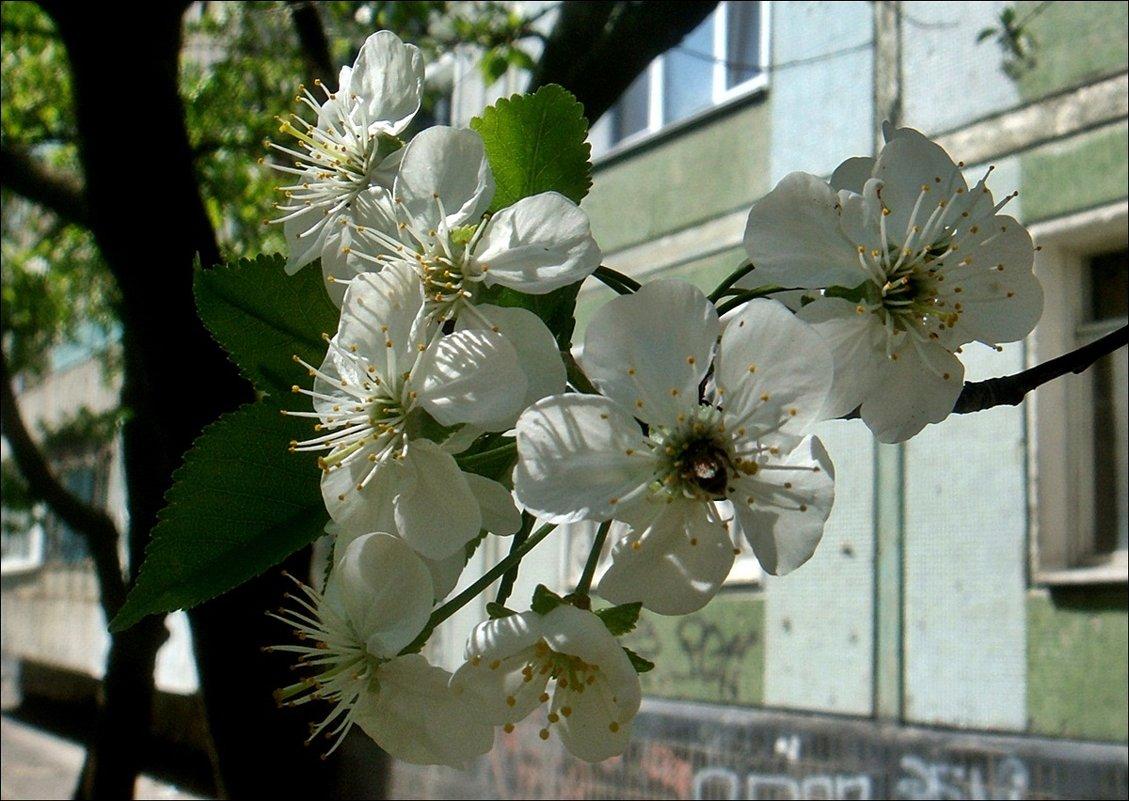 Апрельская вишенка под моим окном - Нина Корешкова