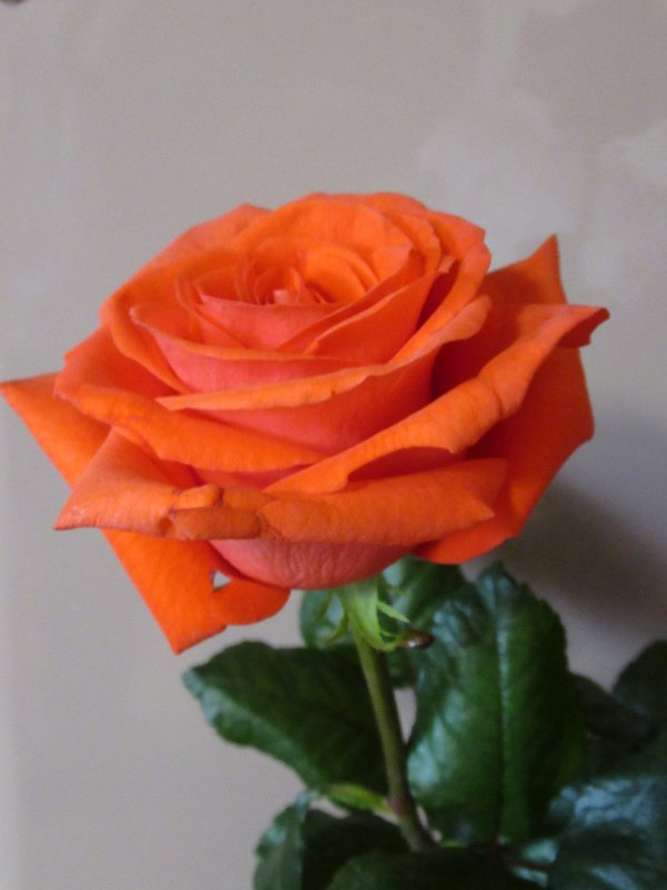 Розы...розы... - Вячеслав Медведев