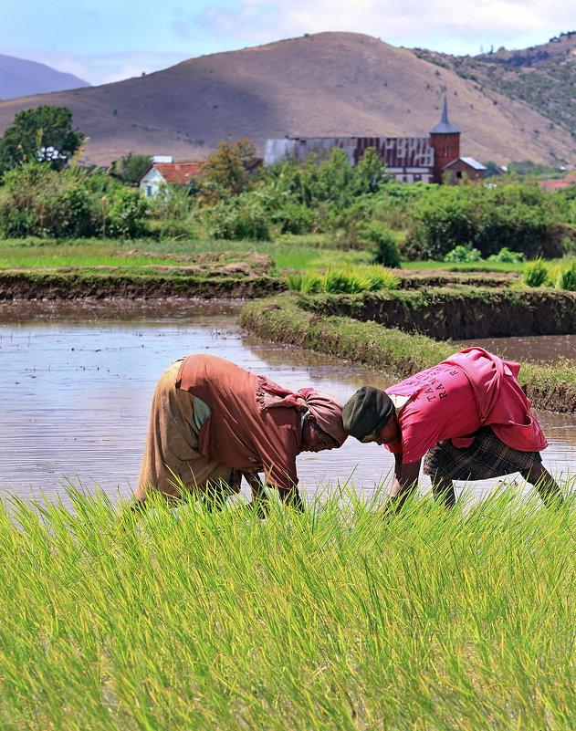 В борьбе за рис - Евгений Печенин