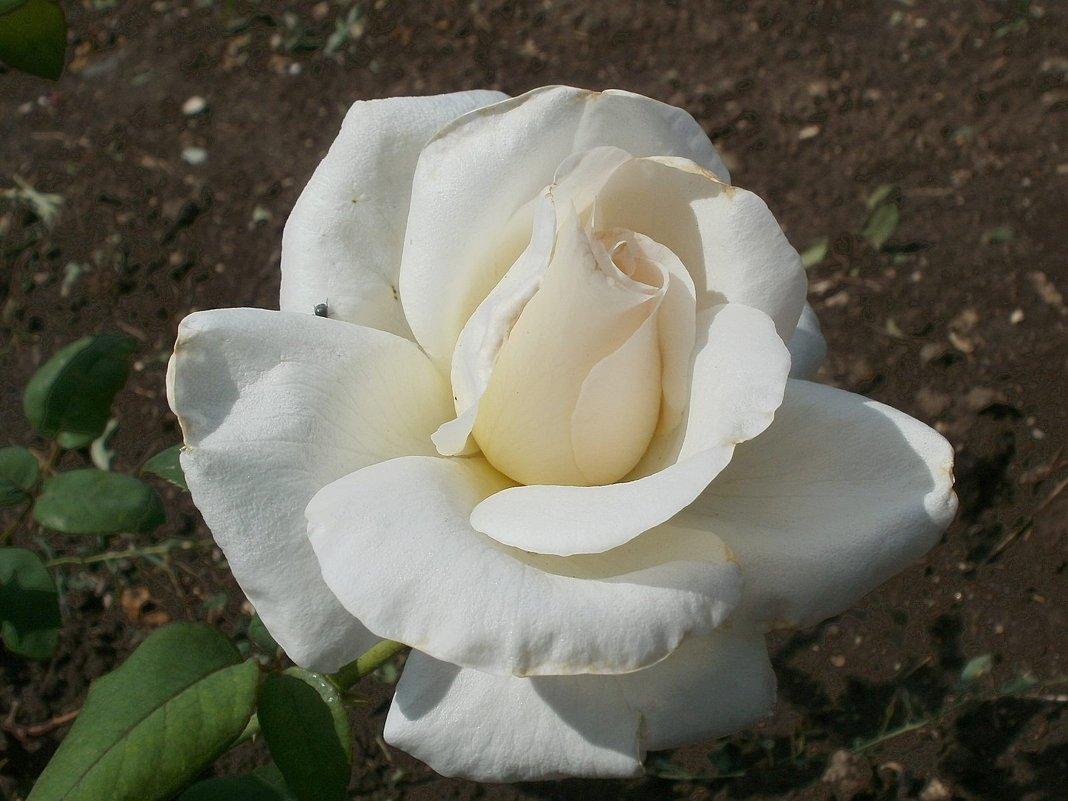 Белая роза - Марина Чайкина