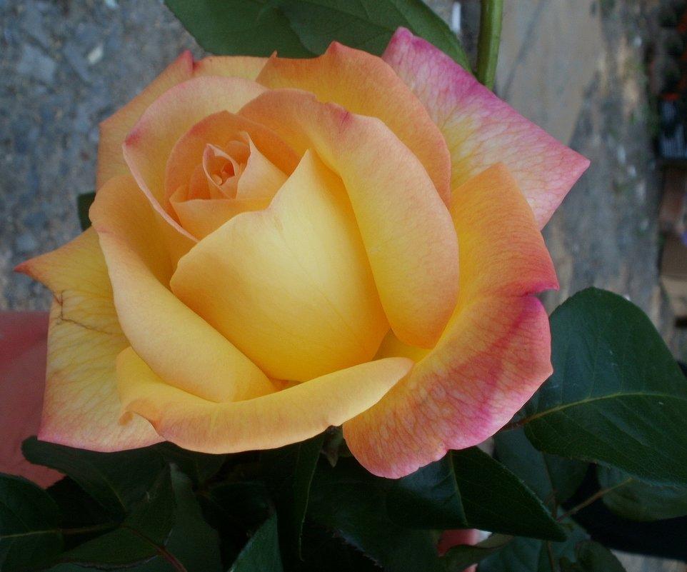 Желтая роза - Марина Чайкина