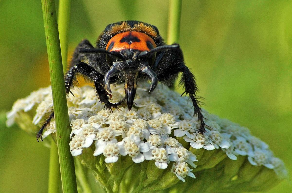 Megascolia maculata - Vit