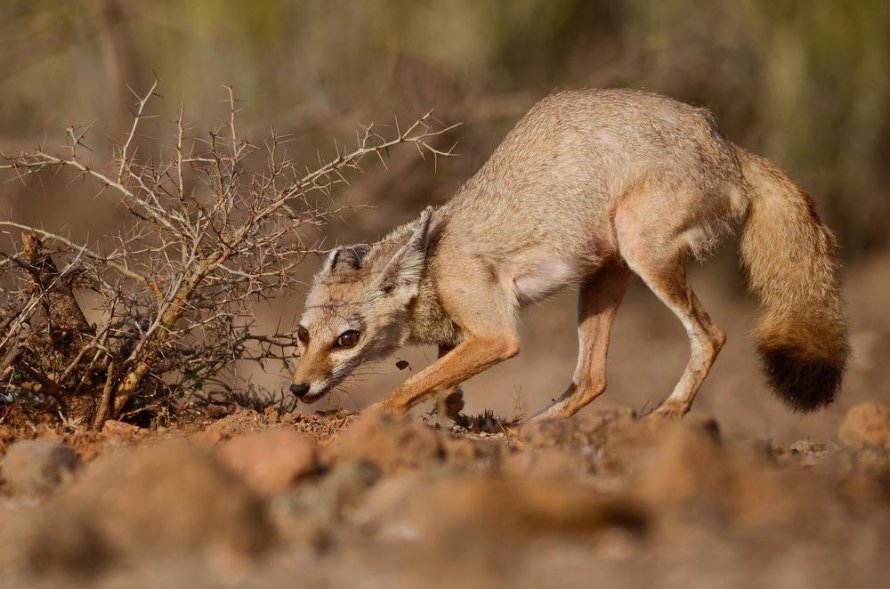 indian fox - ian 35AWARDS
