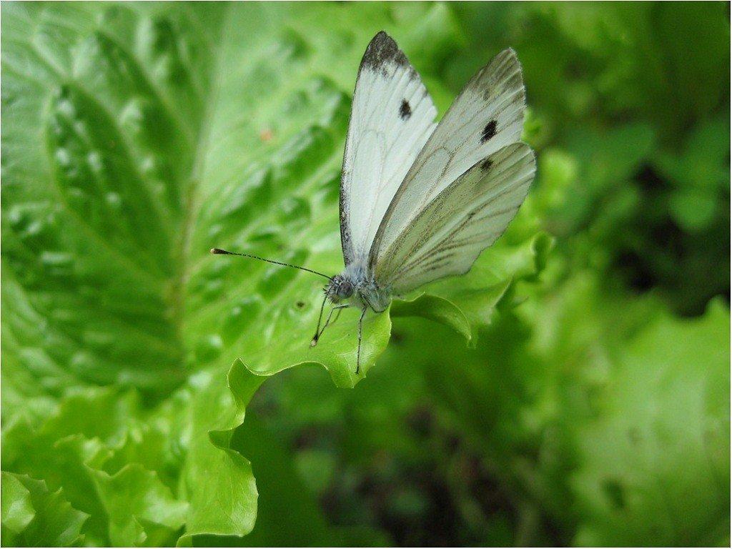 Бабочка - tat