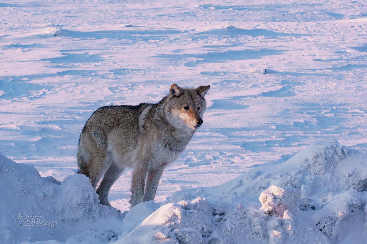 Тундровый волк. - Юрий Харченко