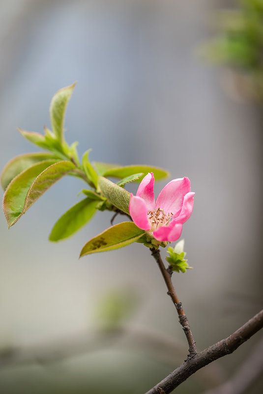 Цветёт настоящая японская айва! Не путать с хеномелесом!!!!! - Александр Земляной
