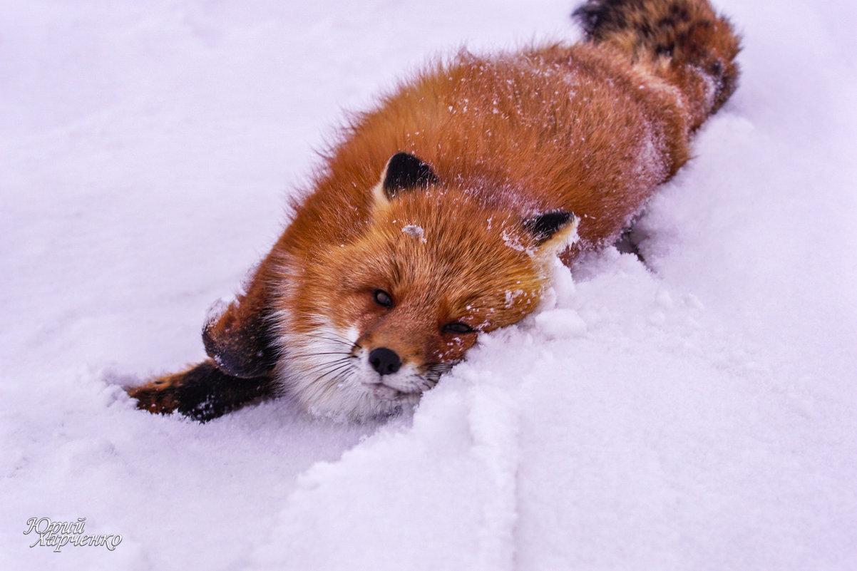 Лиса в снегу купается. - Юрий Харченко