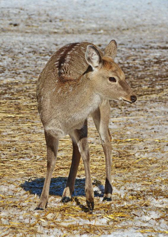 Самка северного пятнистого оленя - Леонид Иванчук