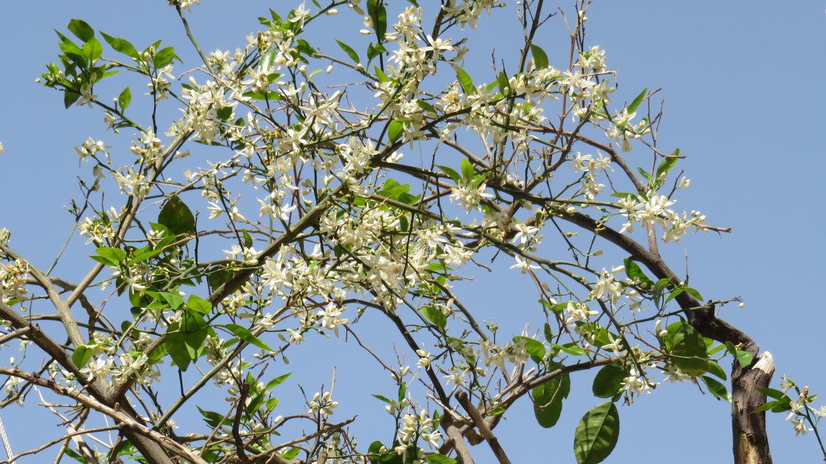 Цветет апельсиновое дерево - Герович Лилия