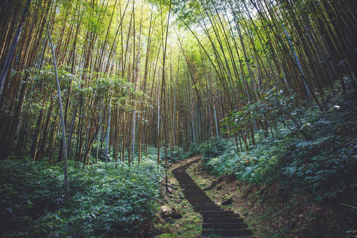 Bamboo forest - Alena Kramarenko