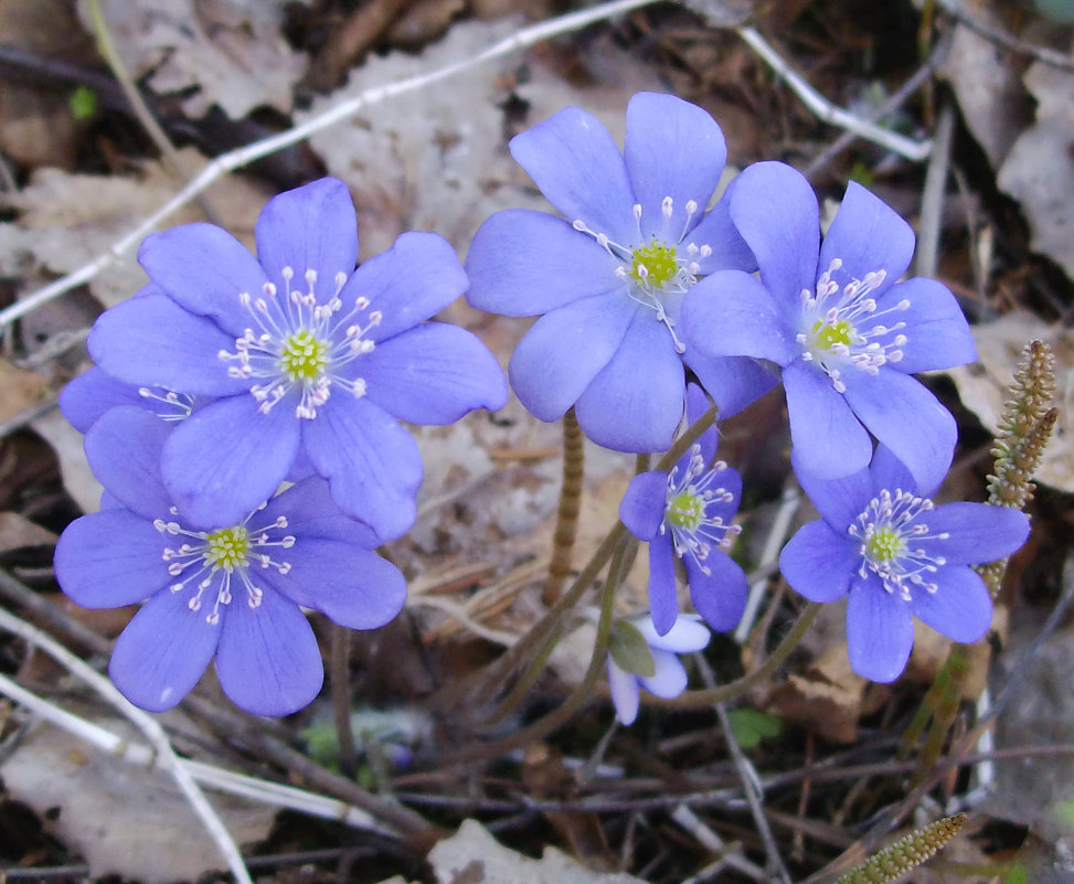 Милые весенние цветы - lady v.ekaterina