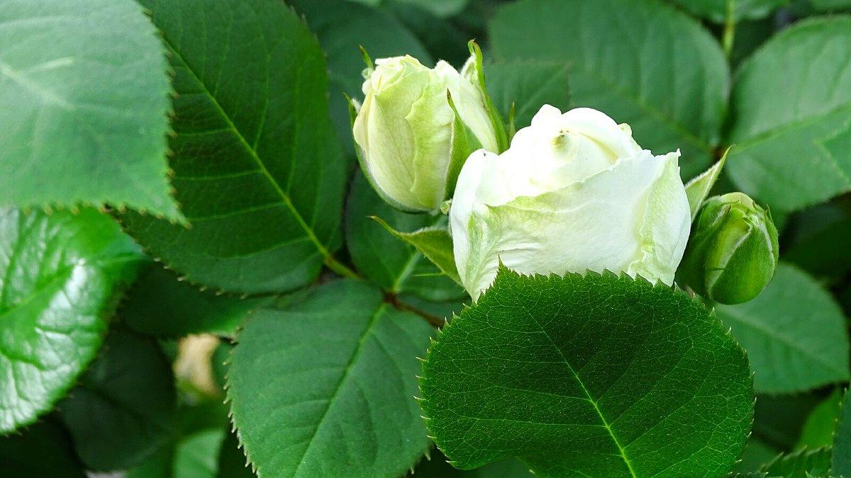 Начало жизни белой розы - Милешкин Владимир Алексеевич