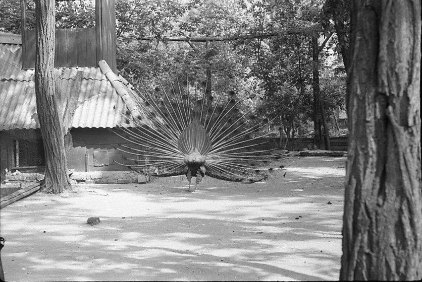 Харьков. Зоопарк.  1963 - Олег Афанасьевич Сергеев