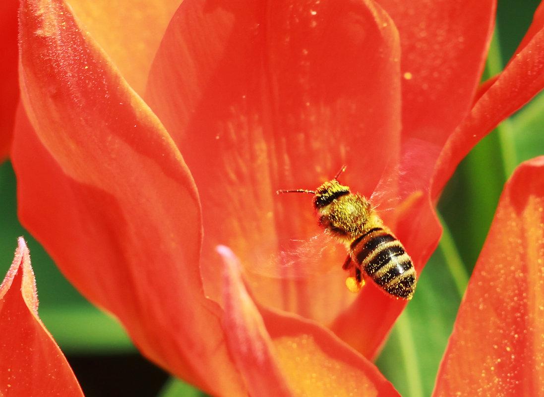 пчела в работе - Sergey Koltsov
