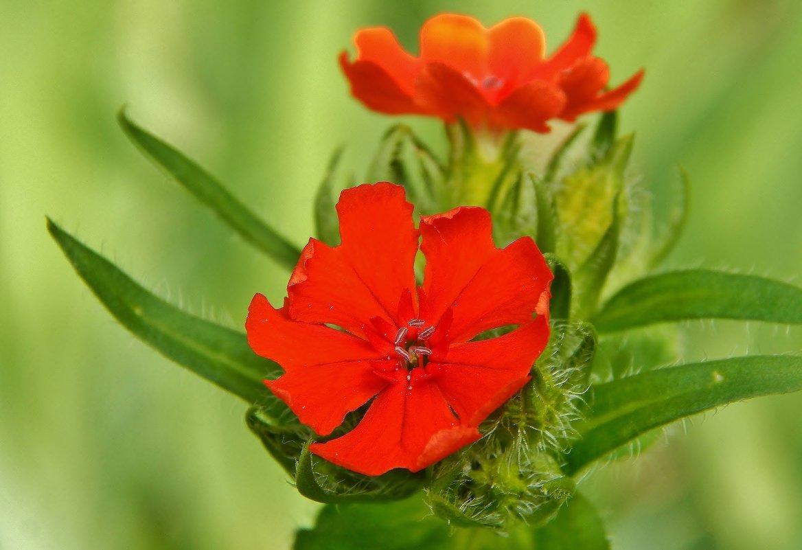 Гвоздика садовая - Валентина Пирогова