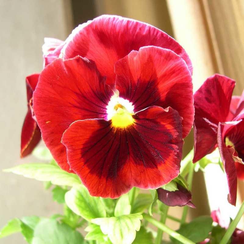 Viola tricolor 5 - Андрей Lactarius