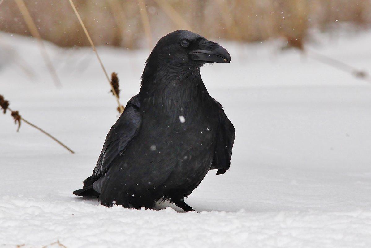 Чёрный ворон - Сергей