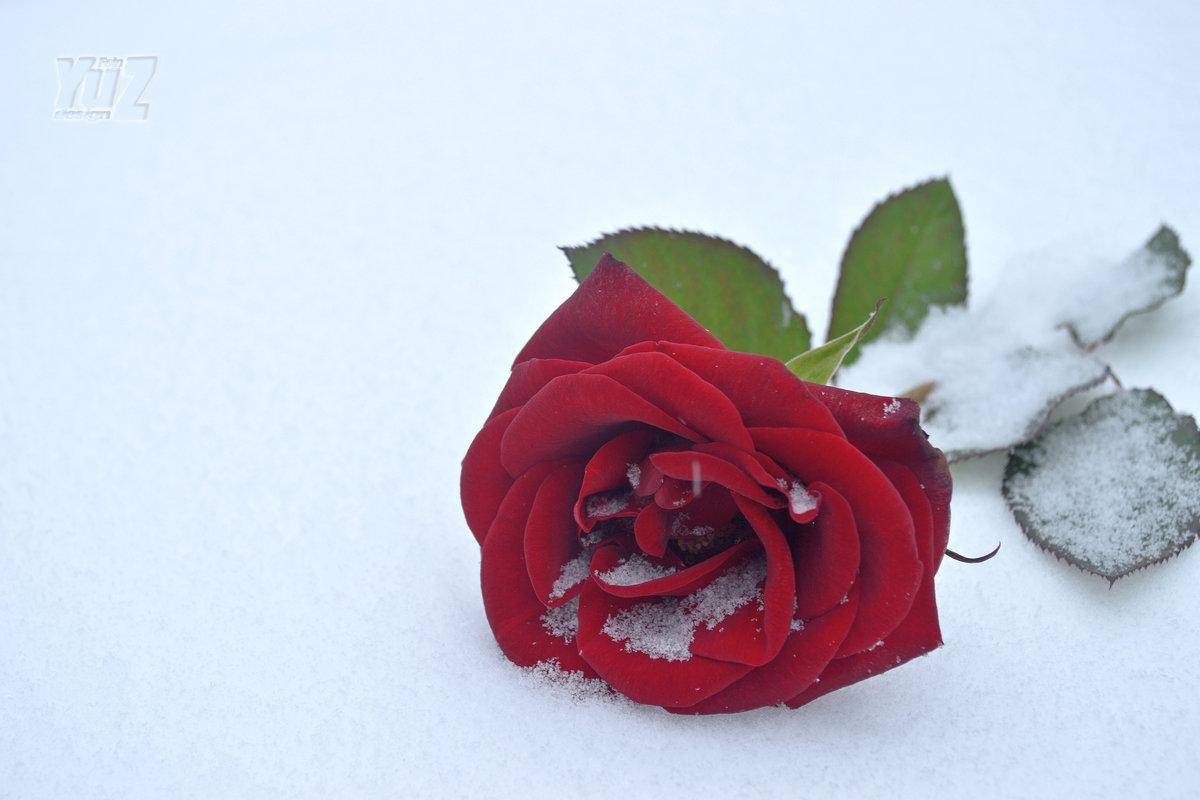 Роза на снегу - Юрий Захаров