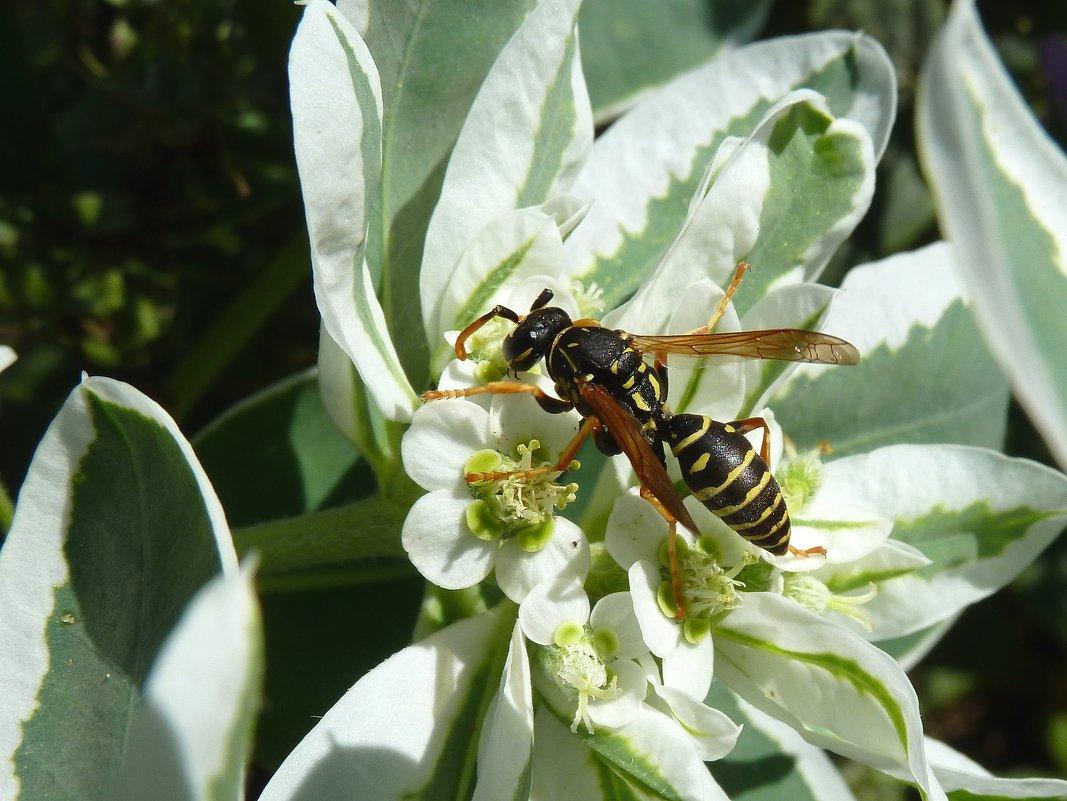 Манит, манит молочай полосатых пчел!... - Лидия Бараблина