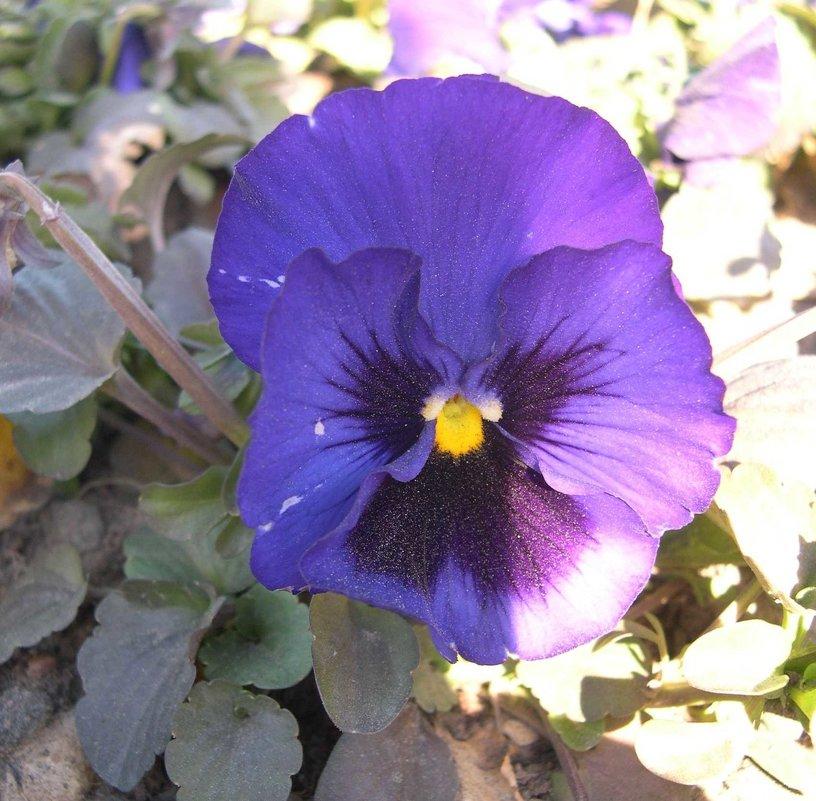 Viola tricolor 6 - Андрей Lactarius