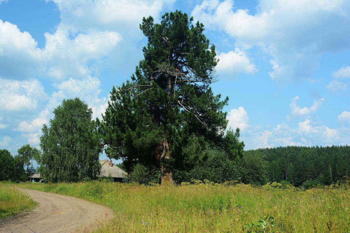 деревня , сосна - Александр