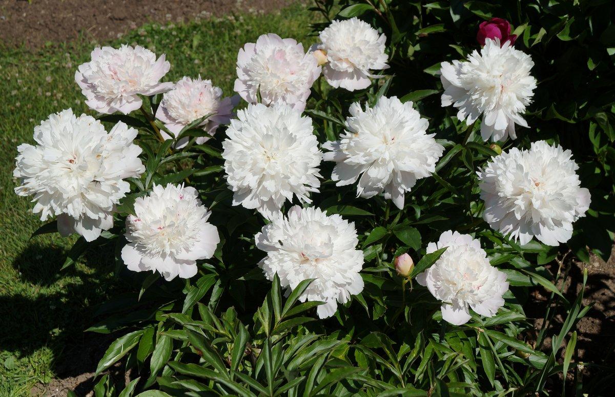 Пион молочноцветковый Печер / Paeonia Lactiflora Pecher - lenrouz