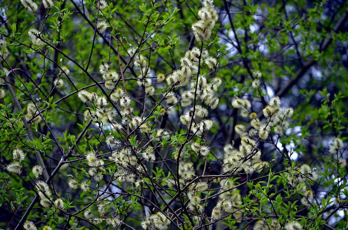 Это чудо весны – светлый праздник в душе!.. - Ольга Русанова (olg-rusanowa2010)