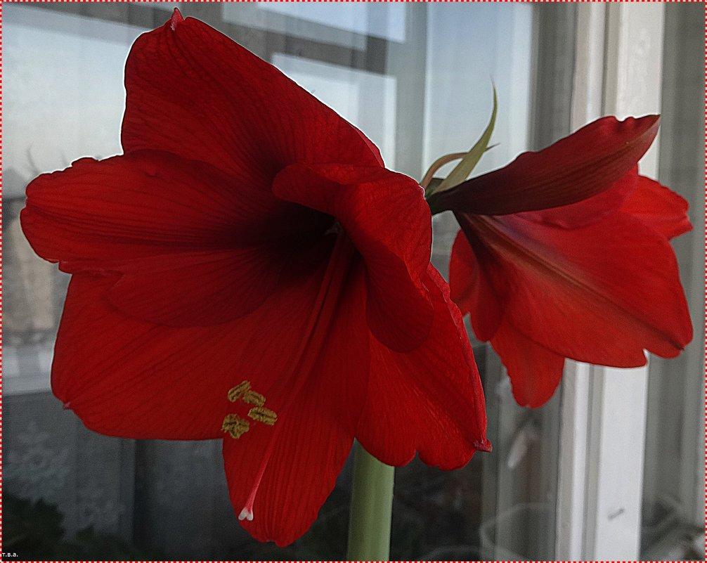 Гиппеаструм Royal Red - Вера