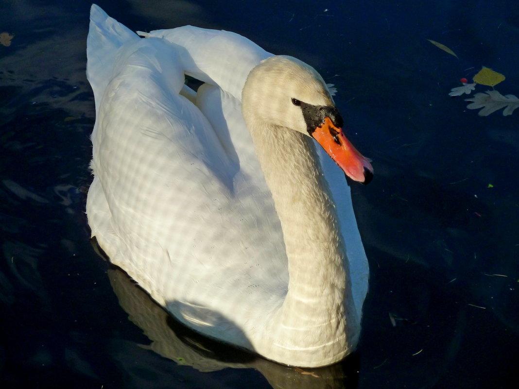 Качался лебедь на воде, осени листочки разгоняя... - Лидия Бараблина