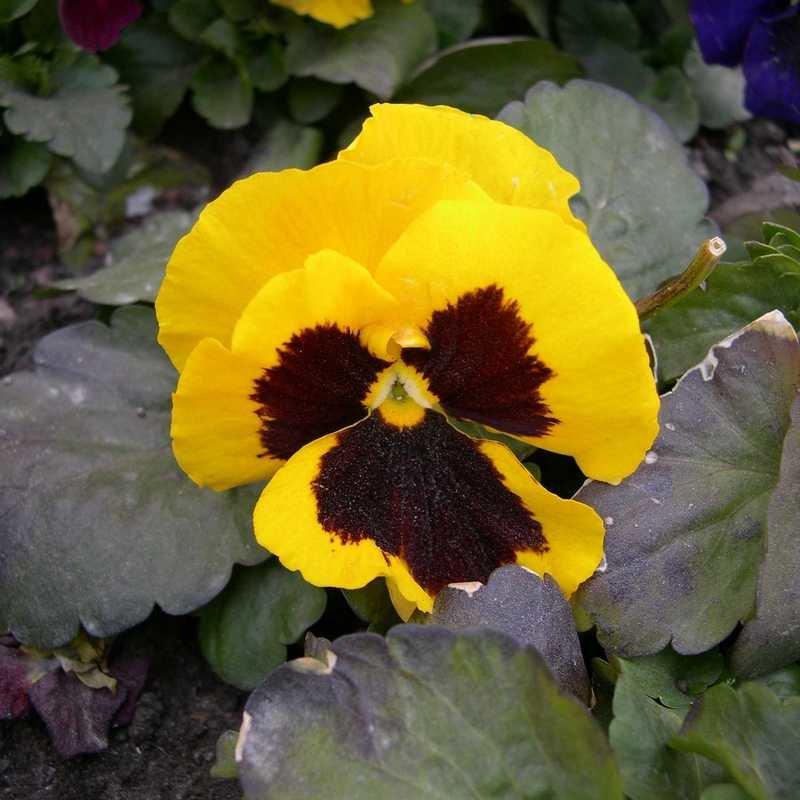 Viola tricolor 13 - Андрей Lactarius
