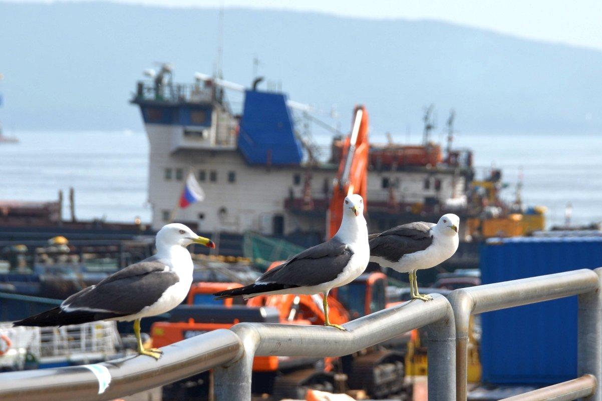 Суровые чайки Владивостока - Юрий