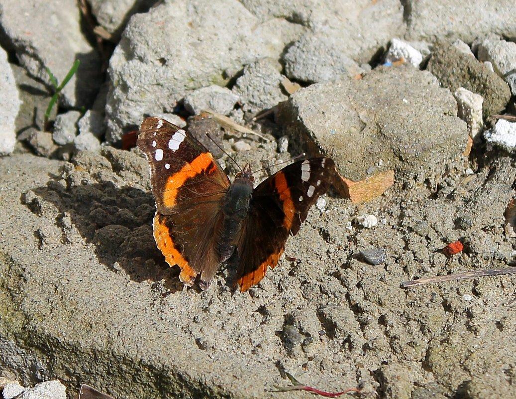 Первая бабочка проснулась! 1 апреля прилетела! - Светлана Масленникова