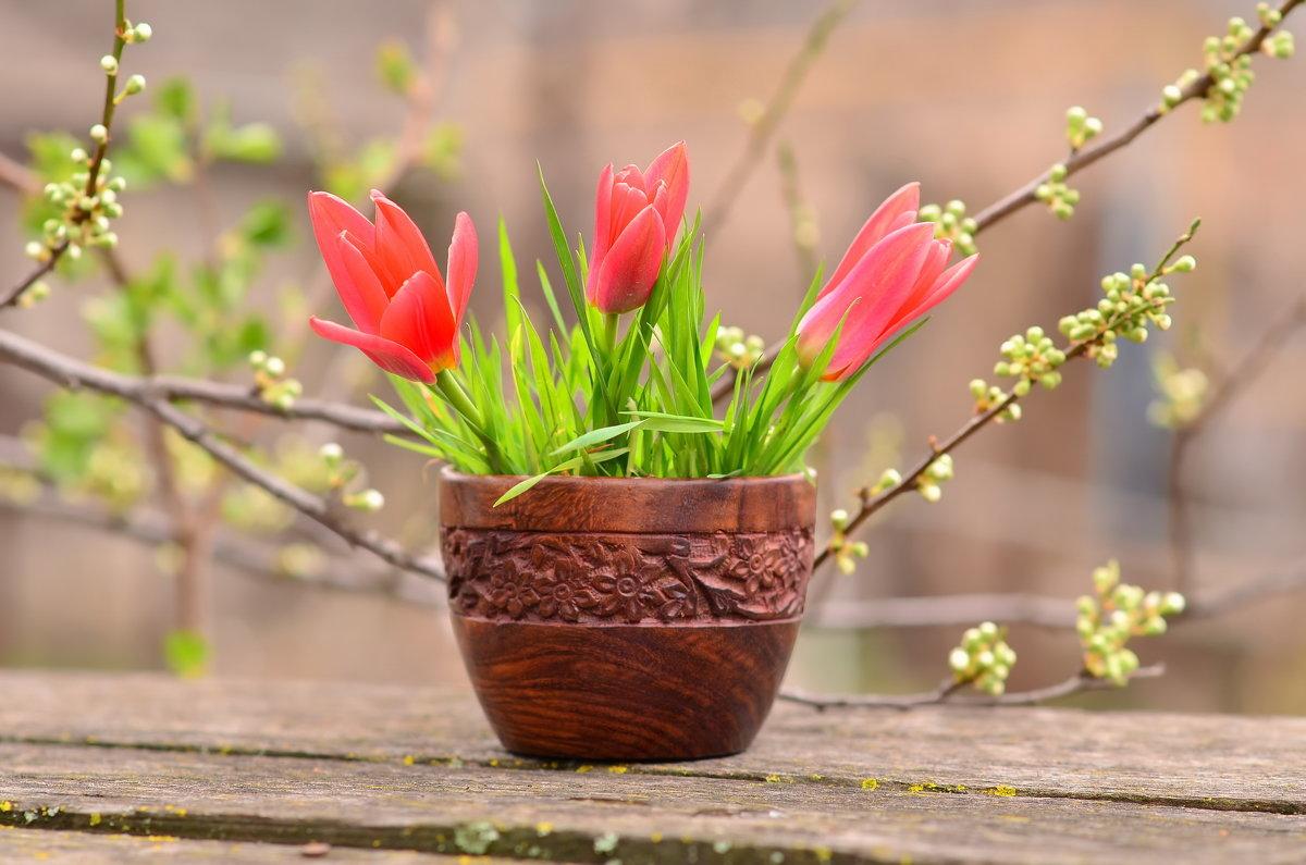 Первые тюльпаны - Ольга Гукова (Olka-rada5)