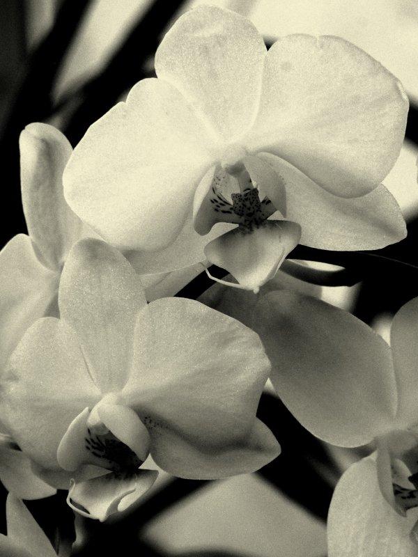 Орхидея в монохроме - Сергей Карачин