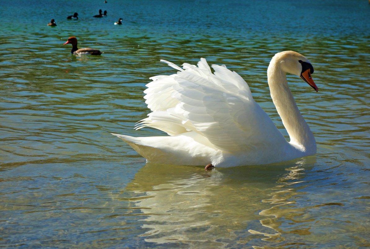 Белые лебеди - птицы прекрасные!.... - Galina Dzubina