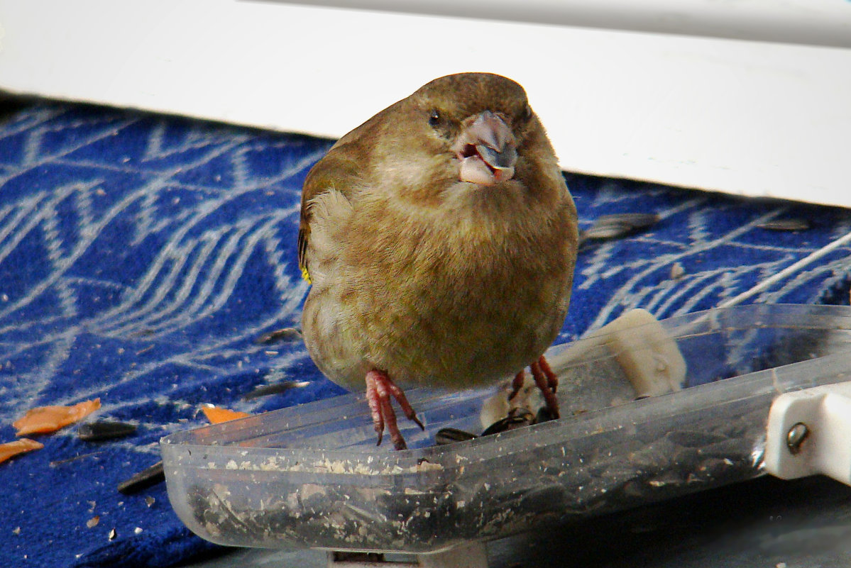 зеленушка - linnud