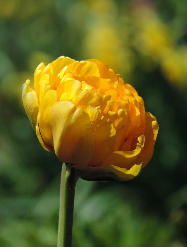 Тюльпан - Наталия