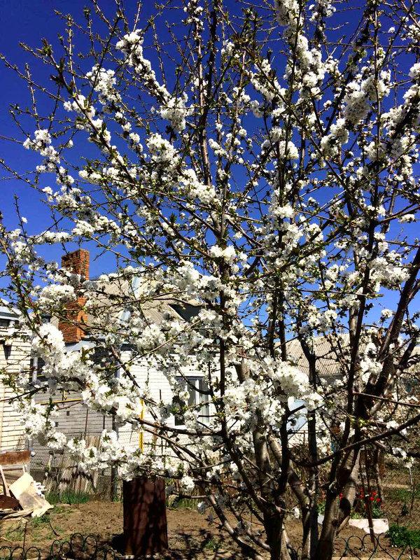 Черешня в цвету - Алла ZALLA