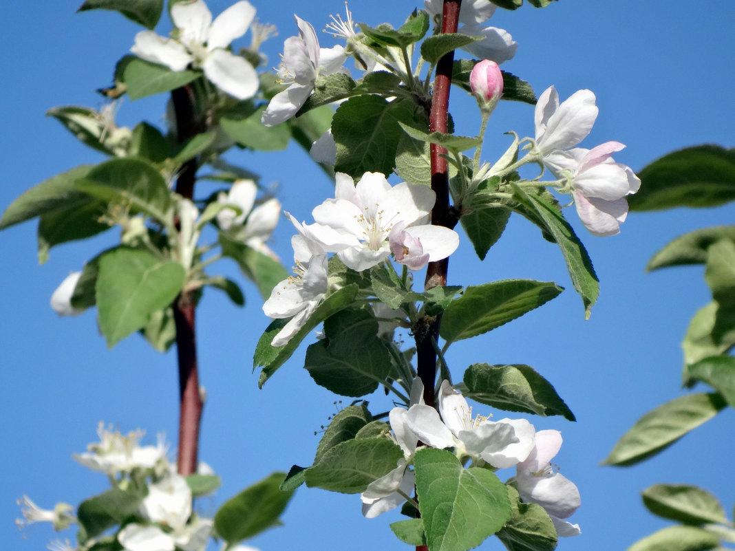 Яблоневый цвет... - Тамара (st.tamara)
