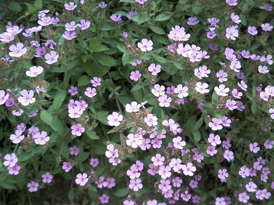Цветы мая - Dana