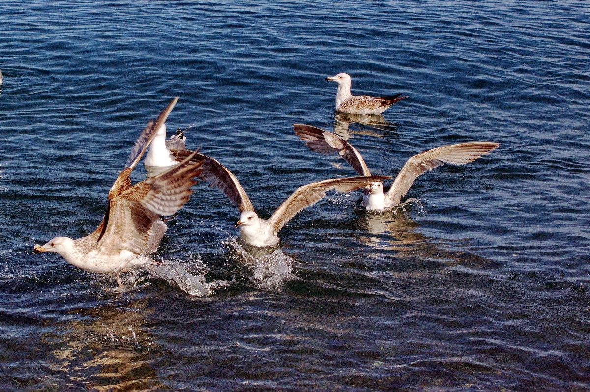 Черноморские чайки. - Vladimir Lisunov