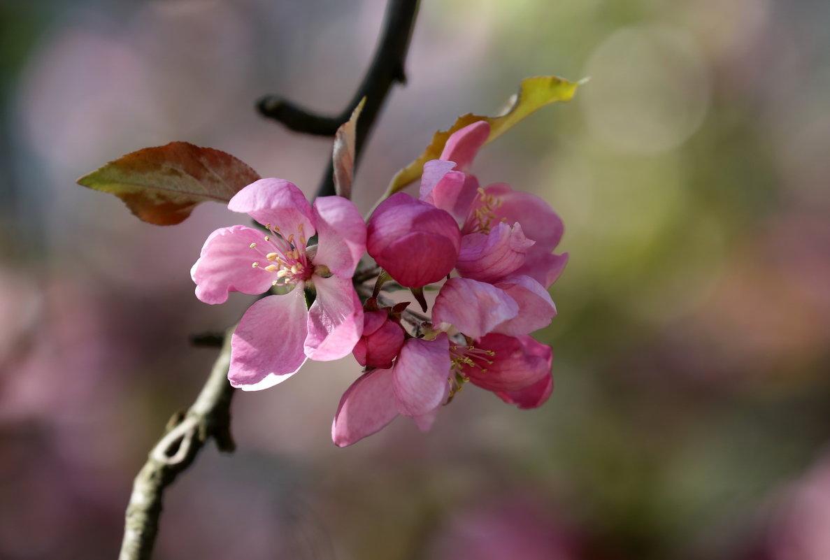 Цвет райской яблони - Нилла Шарафан